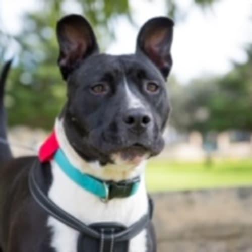Flint - American Staffordshire Terrier Dog