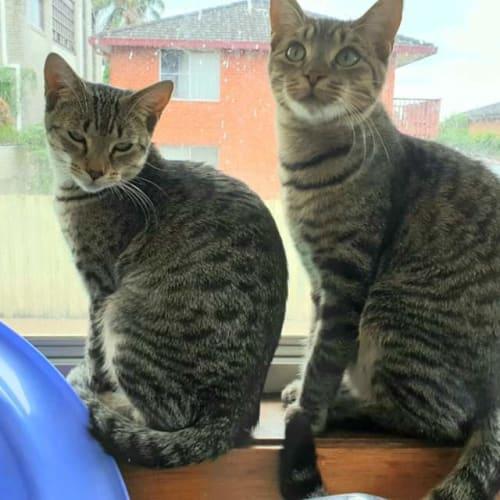 Molly & Milo - Domestic Short Hair Cat