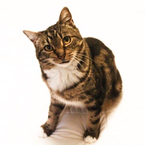 Bobbi - Meet me at Neko HQ in Preston - Domestic Short Hair Cat