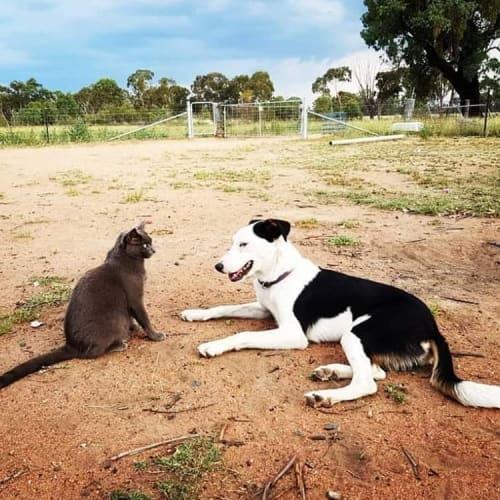 Rosie - Border Collie x Kelpie Dog