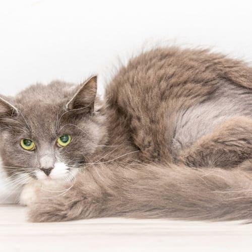 965 - Bunny - Domestic Medium Hair Cat