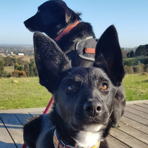 Adelia - Australian Stumpy Tail Cattle Dog x Smithfield Cattle Dog