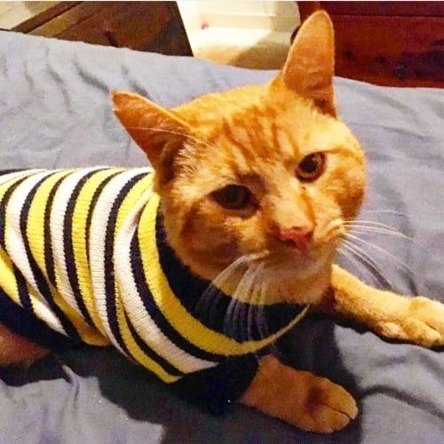 Omally - Domestic Short Hair Cat