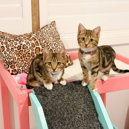Tigerlily & Violet (Located in Croydon) - Domestic Short Hair Cat