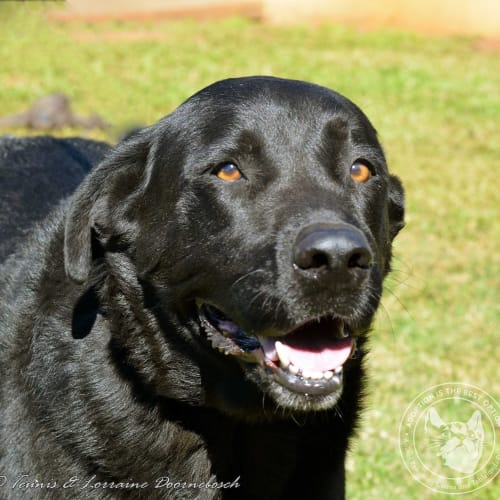 Jett - Labrador x Cross breed Dog