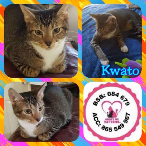 Kwato - Abyssinian Cat