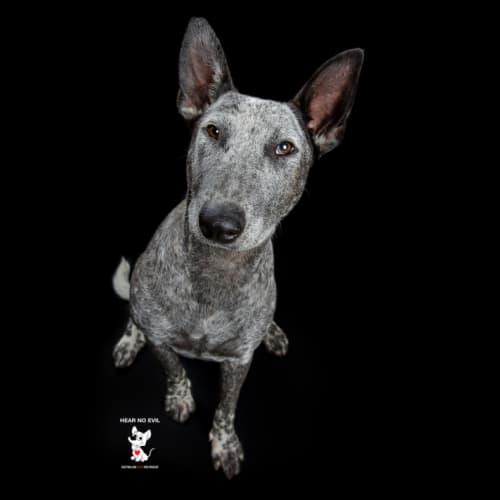 Feyre - Australian Cattle Dog x Bull Terrier Dog