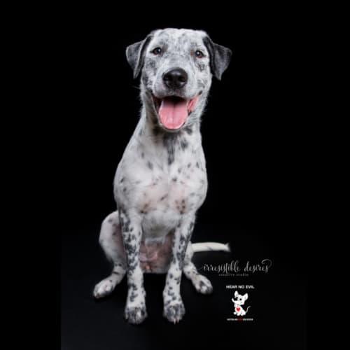 Hollie - Bull Arab x Bull Terrier x Wolfhound Dog