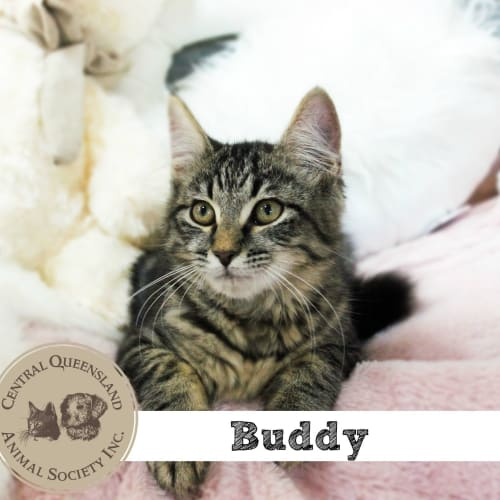 Buddy - Domestic Short Hair Cat