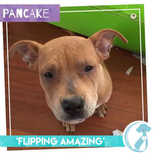 Pancake - Rottweiler Dog