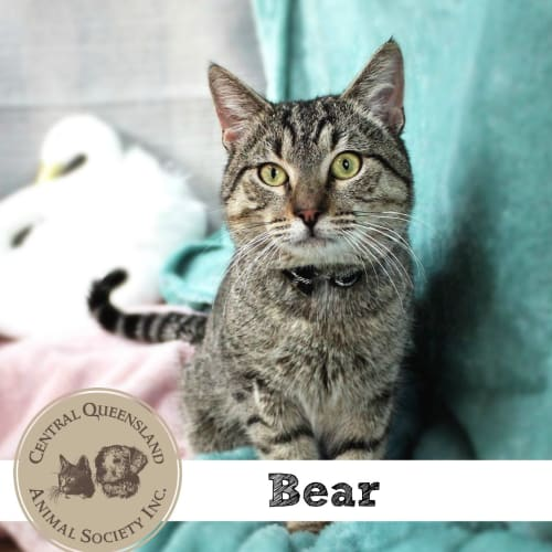 Bear - Domestic Short Hair Cat