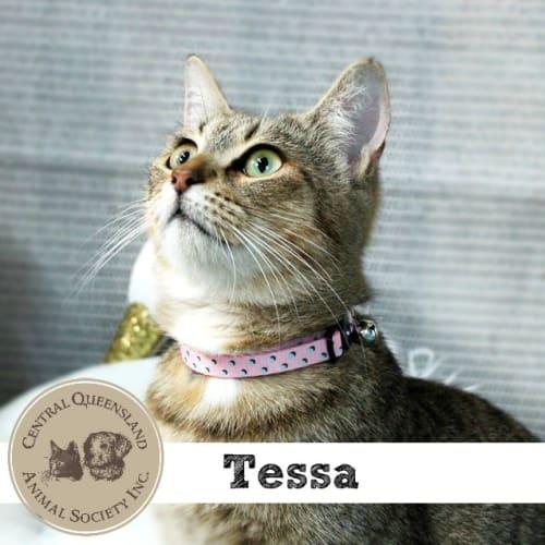 Tessa  - Domestic Short Hair Cat