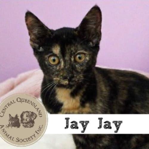 Jay Jay  - Domestic Short Hair Cat