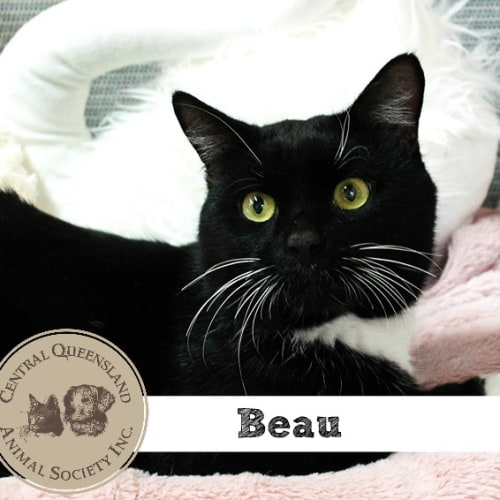 Beau  - Domestic Short Hair Cat