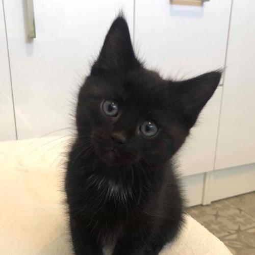 Luke - Domestic Short Hair Cat