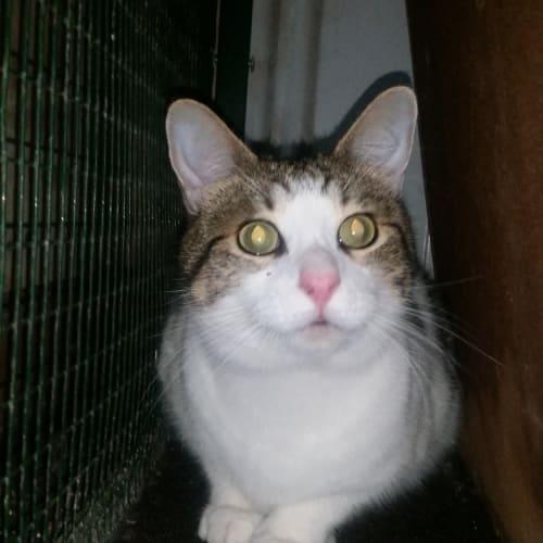 phoebe  - Manx Cat