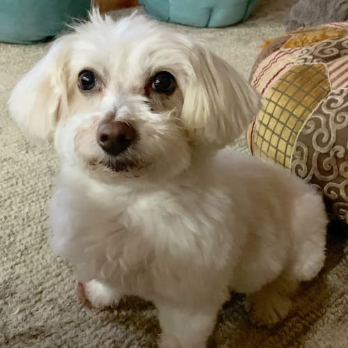 Snoopy a special little man - Maltese Dog