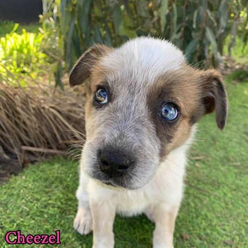 Cheezel - Australian Cattle Dog