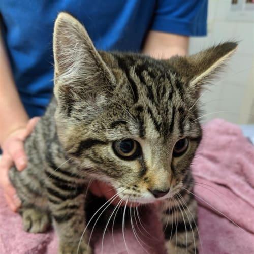 Millie - Domestic Short Hair Cat