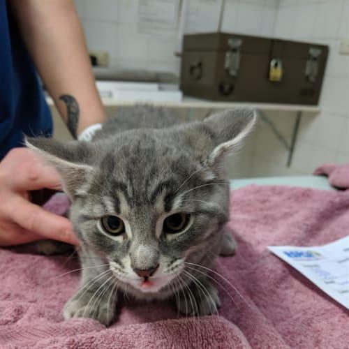 Atticus - Domestic Short Hair Cat