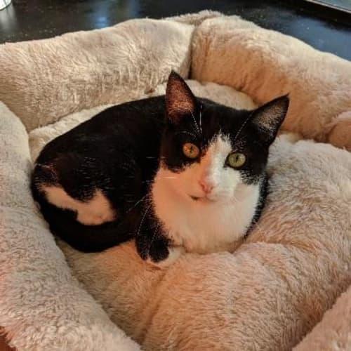 Miranda  918334 - Domestic Short Hair Cat