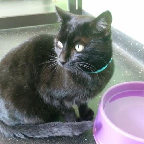 Snuggles  918945 - Domestic Short Hair Cat