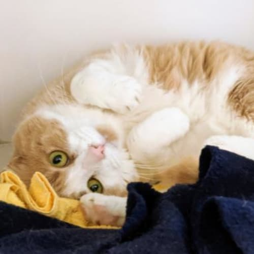 Caramello  918860 - Domestic Short Hair Cat