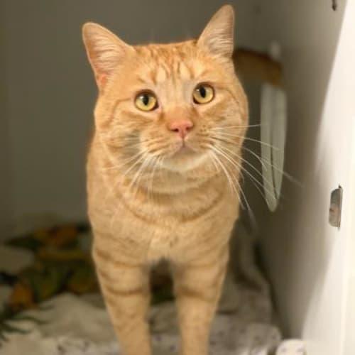 Fletcher  918908 - Domestic Short Hair Cat