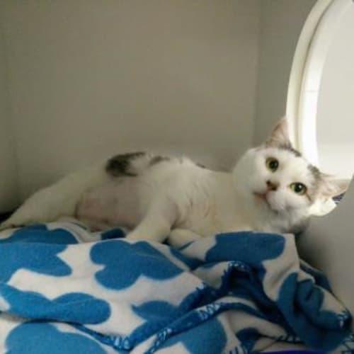 Pearl  918413 - Domestic Short Hair Cat