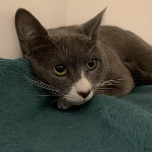 Fay  921773 - Domestic Short Hair Cat