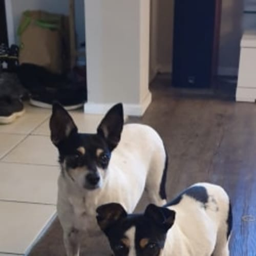 Pippy  (and Rollie) - Miniature Fox Terrier Dog