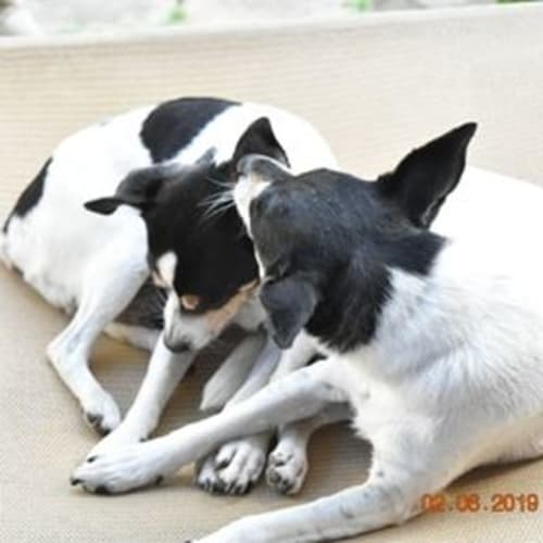 Rollie (and Pippi) - Miniature Fox Terrier Dog
