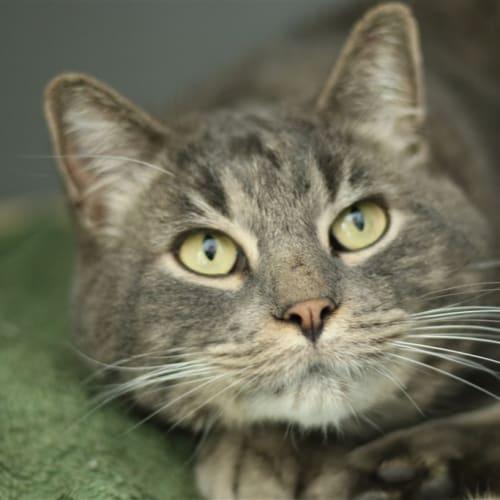 Silverado - Domestic Short Hair Cat