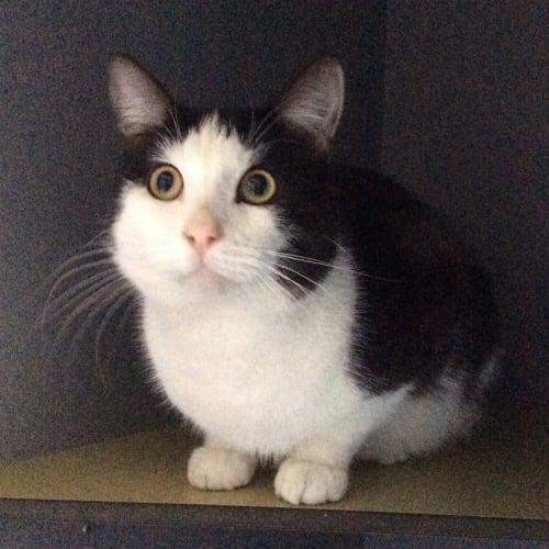 Maxwell - Manx Cat