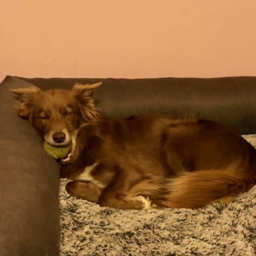 Charlie - Border Collie x Kelpie Dog