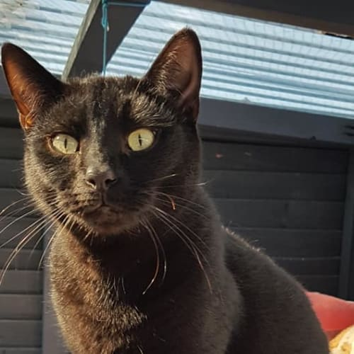 Sooty - Domestic Short Hair Cat