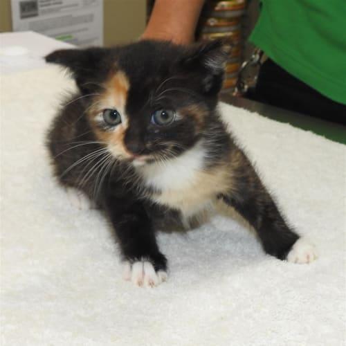 Yani - Domestic Short Hair Cat