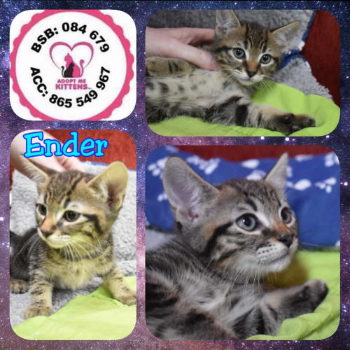 Ender - Domestic Short Hair Cat