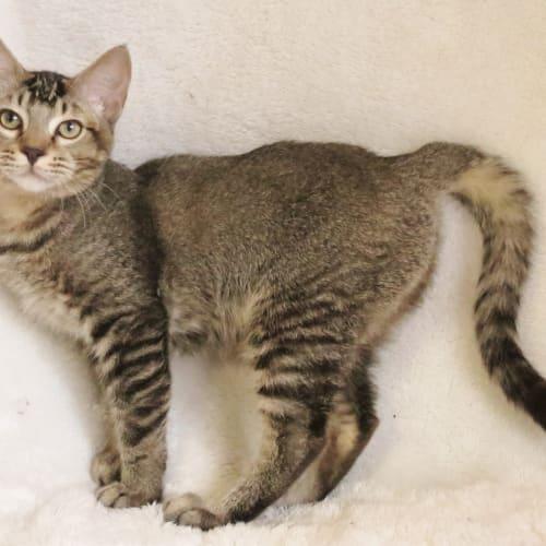 Luca - Domestic Short Hair Cat