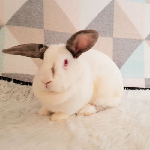 Savannah - Californian Dwarf Rabbit