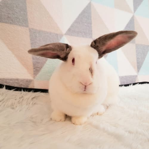 Savannah - Californian Dwarf Rabbit