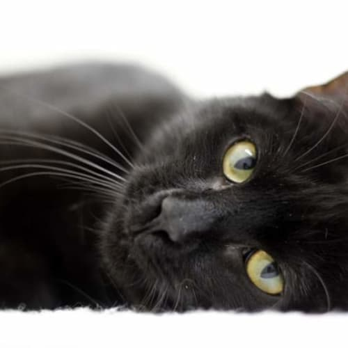 Bashii - Domestic Short Hair Cat