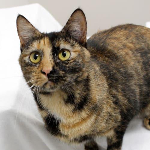 Deena - Domestic Short Hair Cat
