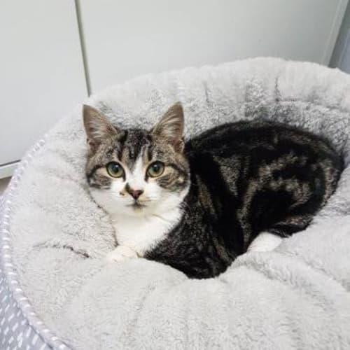 Marbles - Domestic Short Hair Cat