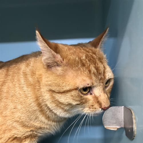 Nuggets  - Domestic Short Hair Cat