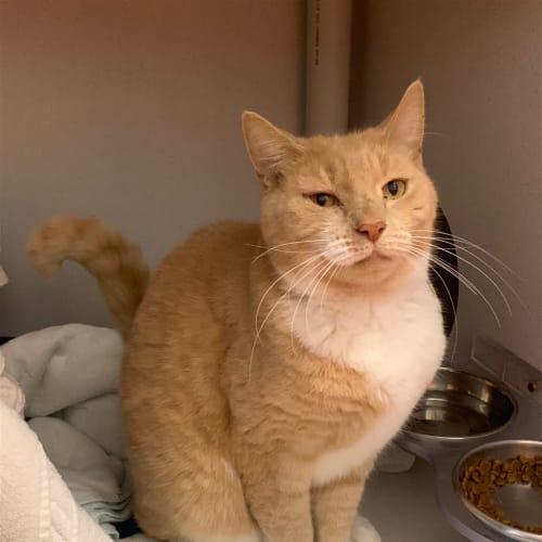 Pippin - Domestic Short Hair Cat