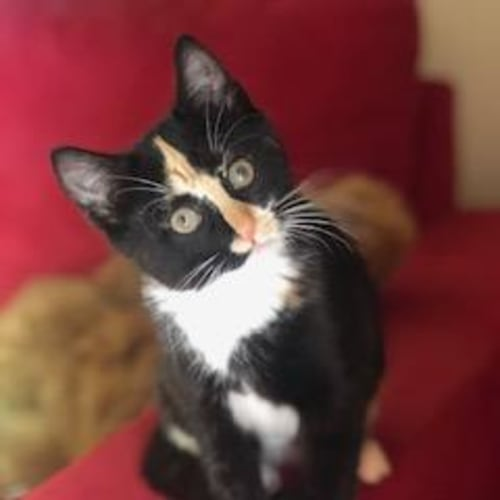 Pixelle * On Trial with my new family * - Domestic Short Hair Cat