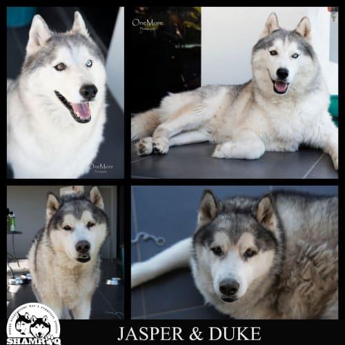 Duke & Jasper - Siberian Husky Dog