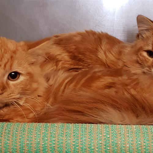 Crumpet - Domestic Medium Hair Cat