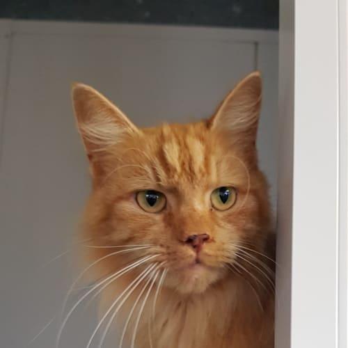 Bluey ID47250 - Domestic Long Hair Cat